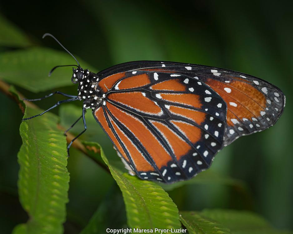 Queen butterfly, Danaus gilippus,  Florida