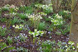 Hellebores and Hepaticas in John Massey's garden. Helleborus x hybridus Ashwood Garden hybrids with Hepatica x media 'Harvington Beauty'