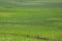 Shades of green of a grassy wetlands fields on the coast of Cape Cod Massachusetts.