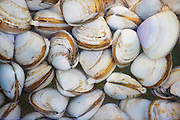 Clam at the seafood market in Hong Kong, China.