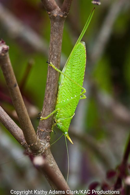 katydid species, Costa rica, central highlands.