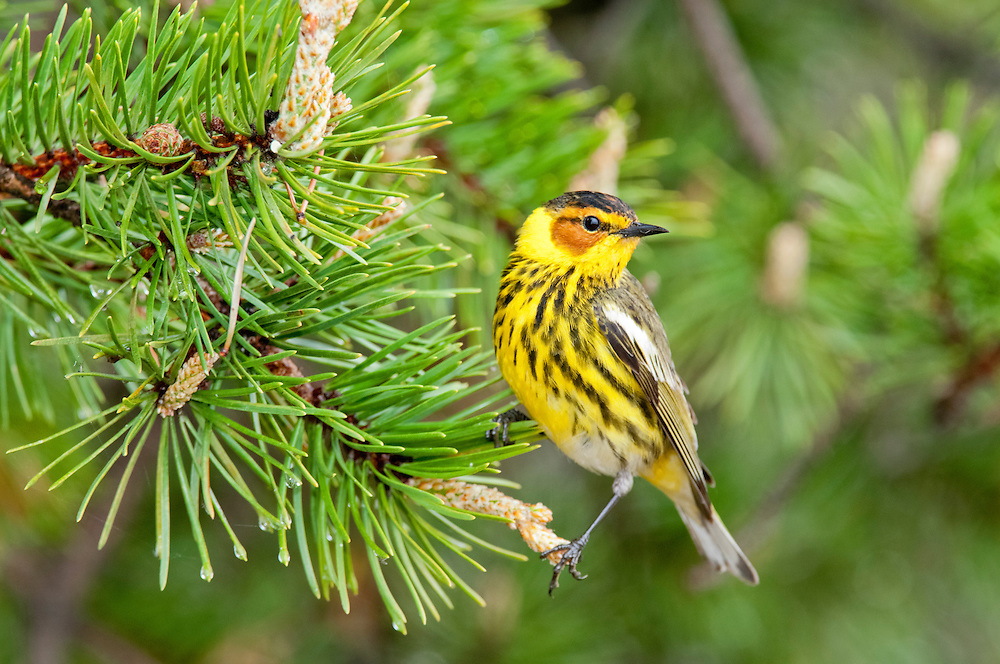 Cape May Warbler, Setophaga tigrina, male on Jack Pine, Tawas Point, Michigan