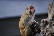 FUZHOU, CHINA - JANUARY 18: (CHINA OUT)<br /> <br /> Mother Monkey comforts her dead baby<br /> <br />  A mother monkey holds her baby in arms at Fuzhou Zoo on January 18, 2016 in Fuzhou, Fujian Province of China. the little baby had died but mother would not let her baby leave her side ,<br /> ©Exclusivepix Media