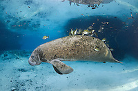 Florida manatee, Trichechus manatus latirostris, a subspecies of the West Indian manatee, endangered. A young manatee floats near a warm blue spring surrounded by fish, bream, Lepomis spp. The manatee is tolerating the fish attention as it is the price to pay for sharing the warm waters. Bream target dermis and dead skin on the manatee.  Horizontal orientation with blue water and light rays. Three Sisters Springs, Crystal River National Wildlife Refuge, Kings Bay, Crystal River, Citrus County, Florida USA.