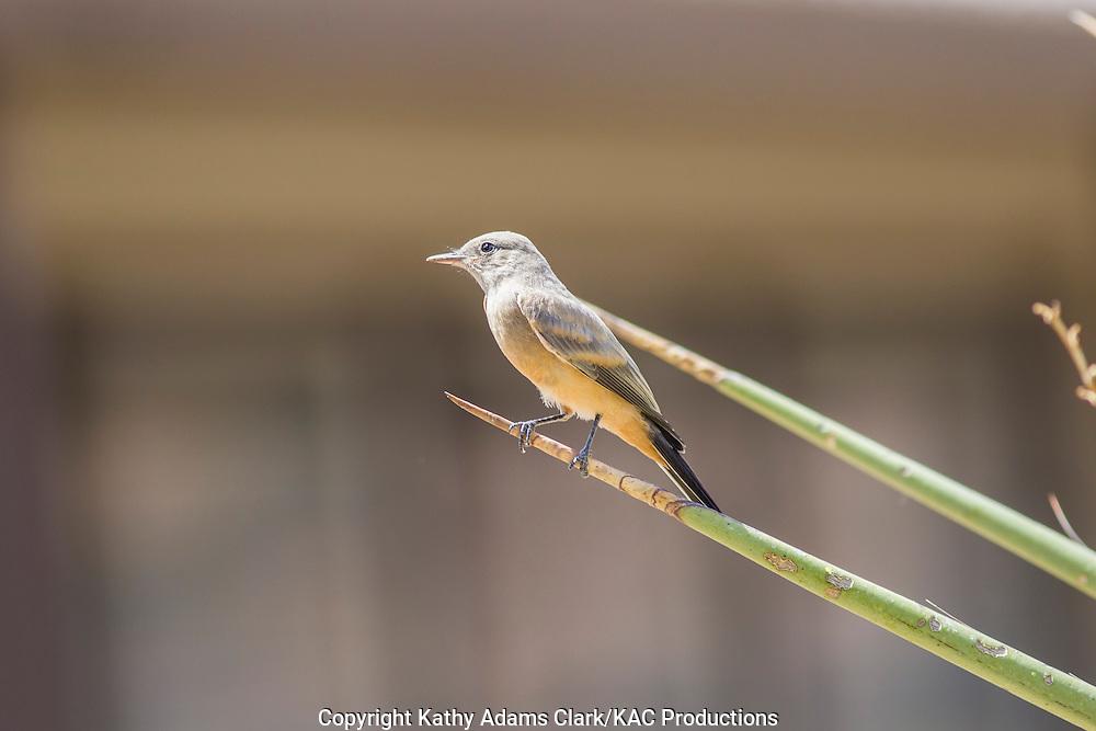 Say's Phoebe; Sayornis saya; perched in Big Bend National Park; Chihuahuan Desert; Texas in summer.
