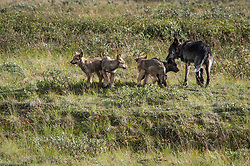 The alpha male wolf of the Grant Creek gray wolf pack keeps watch on his six pups near Stony Creek in Denali National Park and Preserve. This photo was taken on July 31, 2004.