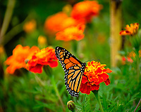 Monarch butterfly feeding on a Marigold flower. Image taken with a Fuji X-T2 camera and 100-400 mm OIS lens