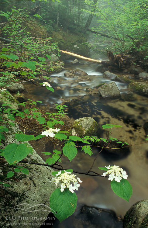 Hobblebush, Viburnum alnifolium, and Wonalancet Brook in The Bowl Natural Area.  Part of the Sandwich Wilderness Area in the White Mountain N.F.