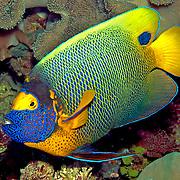 Yellow-mask Angelfish inhabit reefs. Picture taken Raja Ampat, Indonesia.