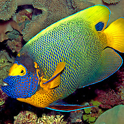 Tropical Pacific Angelfish
