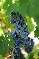 10 September 2006:  Mature wine grapes on vine in Temecula, California.  Stock Photo