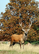 RICHMOND SURREY. A Lone male deer  during an autumnal morning at the beginning of the rutting season in Richmond Park. The males begin calling out and clashing antlers during the rutting season when they will compete with each other for the attention of females. 30 September 2010. STEPHEN SIMPSON.