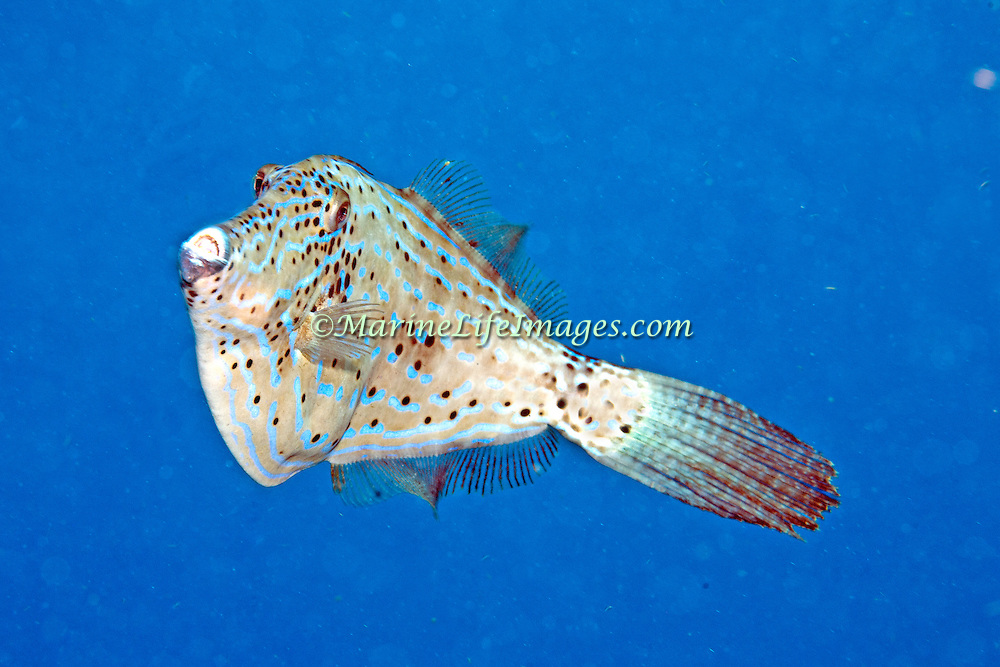 Scrawled Filefish drift over reefs and rocky bottoms with abundant gorgonian growths in Tropical West Atlantic and cirumtropical; picture taken Key Largo, FL.