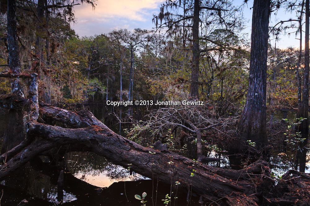 A peaceful dawn among the cypress trees at Ingrams Crossing on Florida's scenic Fisheating Creek. WATERMARKS WILL NOT APPEAR ON PRINTS OR LICENSED IMAGES.