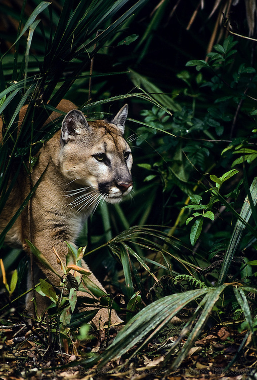 Florida Panther [Felis concolor] adult, hunting; Weed's Everglades Wildlife Sanctuary, Florida