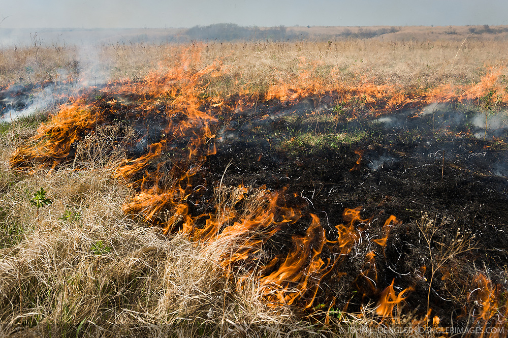 Prairie grasses in the Kansas Flint Hills, like this pasture in Chase County, are intentionally burned by land mangers and cattle ranchers in the spring to prepare the land for cattle grazing and help maintain a healthy tallgrass prairie ecosystem. The burning is also an effective way of controlling invasive plants and trees. The prairie grassland is burned when the soil is moist but grasses are dry. This allows the deep roots of the grasses to survive and the burned grasses on the soil surface return as nutrients to the soil. These nutrients allow for the rapid growth of new grass. After approximately two weeks of burning, new grass emerges. Less than four percent of the original 140 million acres of tallgrass prairie remains in North America. Most of the remaining tallgrass prairie is in the Flint Hills in Kansas. The prairie has survived here because the soil is heavily laden with limestone and chert (commonly called flint) making it unsuitable for plowing. This rocky soil, combined with a cycle of wildfires and animal grazing has preserved the tallgrass prairie.