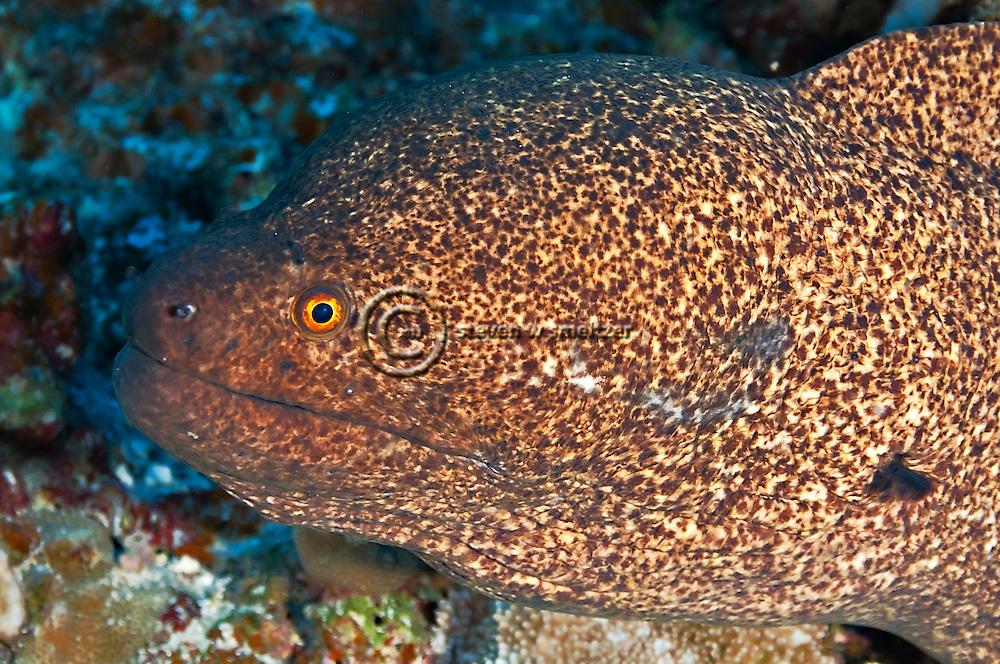 Pühi-paka, Yellow Margin Moray eel, Gymnothorax flavimarginatus, (Rüppell, 1830), Maui Hawaii