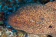 Pühi-paka, Yellow Margin Moray eel, Gymnothorax flavimarginatus, (Rüppell, 1830), Maui Hawaii