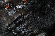 Common Chimpanzee (Pan troglodytes) .Portrait of a female chimpanzee with a hand over her mouth. In contrast to gorillas, in chimpanzees usually a direct and intense eye contact is not perceived as aggressive behavior...Gemeiner Schimpanse (Pan troglodytes).Portrait einer Schimpansen-Frau mit Hand vor dem Mund. Im Gegensatz zu Gorillas ist bei Schimpansen ein direkter und intensiver Blickkontakt üblich und wird nicht als aggressive Verhaltensweise verstanden..