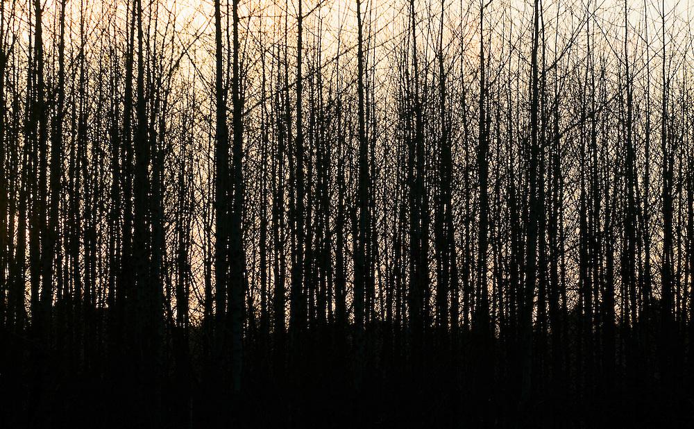 Poplar tree farm and sky at sunset. Western Washington, USA.