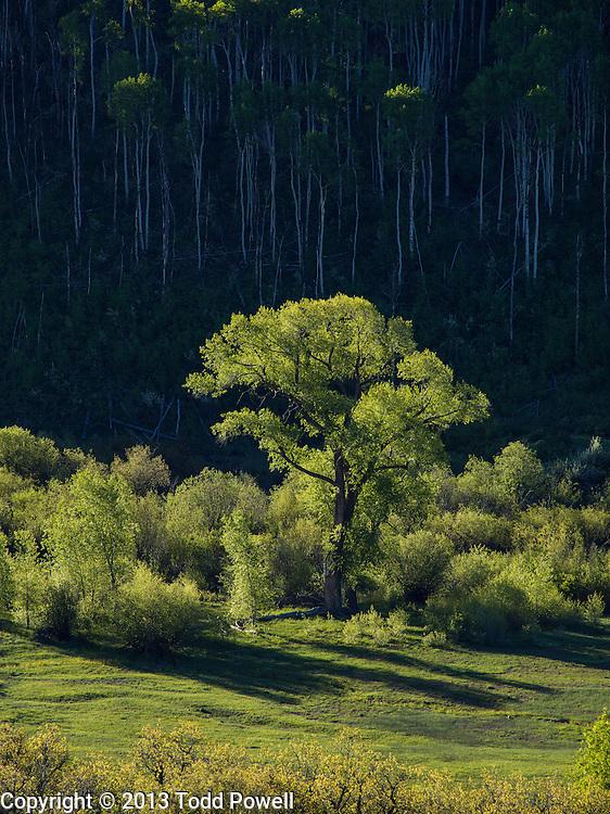 Cottonwood Tree Surrounded by Aspen Grove, McClure Pass, Springtime, Colorado