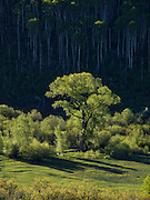 Cottonwood Tree Surrounded by Aspen Grove, McClure Pass, Springtime, Colorado