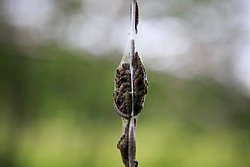 © Licensed to London News Pictures. 19/06/2015.  Briadgate Oark. Cumbria, UK. 'Thousands of marauding caterpillars are competing with tourists for a park bench in the Lake District, UK. The caterpillars, known as spindle ermine have already cocooned and consumed one tree overhanging the river, then they turned their attention to the bench. They have covered it with with a fine mesh of silk. The silk helps protect them while feeding from birds and predators, allowing them to gorge on leaves for six weeks before transforming into moths. . Photo credit : Martin Campbell/LNP