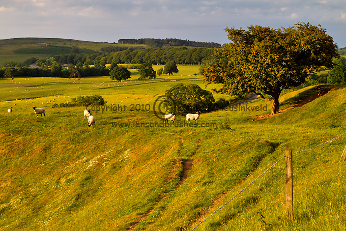 Northumberland countryside near Beanley. Northumberland Blackface Sheep graze in pastures in evening light.