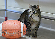 Wantagh, New York, USA. 7th February 2016. Tabby cat ALEXANDER, the Mayor of Last Hope Rescue, looks at a football decoration during Last Hope Animal Rescue's Open House during Hallmark Channel Kitten Bowl III. Alexander appeared on the TV show with its host B. Stern, who told the audience Alexander is available for adoption. The adoption center's volunteers and visitors watch the game on TV and cheer on their team, the Last Hope Lions. Over 100 adoptable kittens from Last Hope Inc and North Shore Animal League America participated in the taped games, and the Home and Family Felines won the 2016 championship, which first aired the day of Super Bowl 50.