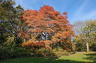 A black tupelo, also known as sourgum or blackgum, in its fall foliage at the Center of the Ramble in Central Park. The tree measures   81.18 feet tall with a trunk diameter of 49.5 inches and a canopy spread of 56 feet according to the Central Park Conservancy.
