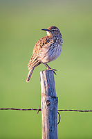 Agulhas long-billed Lark perched on fence post, Renosterveld, Western Cape, South Africa