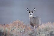 Mule deer in Wyoming