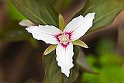 Painted Trillium or Painted Wake-robin (Trillium undulatum)<br /> Dorset<br /> Ontario<br /> Canada