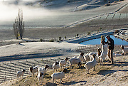 Gareth King, Felton Road Viticulturalist, feeding his goats on a frosty winter day,  Central Otago, New Zealand