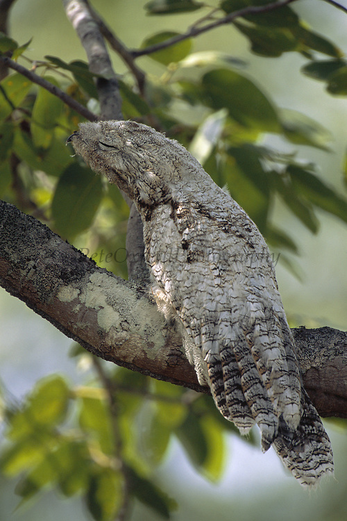 Great Potoo at Day time Roost<br />Nyctibius grandis<br />Cerrado Habitat, Piaui State,  BRAZIL.  South America<br />Range: Mexico to Bolivia, Paraguay to SE Brazil