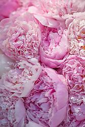 Pink Peonies Flowers, Full Frame