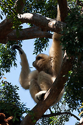 White-handed Gibbon - Lar Gibbon (Hylobates lar), Oakland Zoo, Oakland, California, United States of America