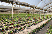 Israel, Jordan Valley, Kibbutz Ashdot Yaacov, A banana seedling nursery. Young banana plants are bred in this hothouse before transferring them to the plantation