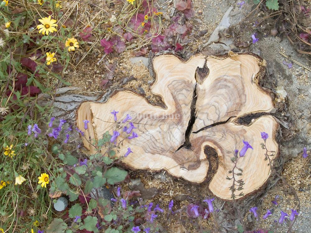 Texas mahogany tree stump seen from above.