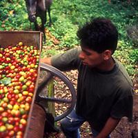 Hombre con molino de cafe, Altamira de Caceres, Estado Barinas, Venezuela.