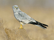 MONTAGU'S HARRIER Circus pygargus Wingspan 100-115cm. Graceful raptor with slow, buoyant flight. Adult male has mainly blue-grey with a smaller white rump than male Hen Harrier. Note black wingtips, single dark bar on upperwing, two dark bars on underwings, chestnut barring on underwings coverts and streaked belly. Adult female is pale brown with darker barring on wings and tail, streaking on underparts, and narrow white rump. Juvenile recalls an adult female but underparts and underwing coverts are orange-red and unstreaked. Voice – mainly silent. Status and habitat - A summer visitor to Britain, present May-September. A few pairs breed each year in arable farmland and on heathland.