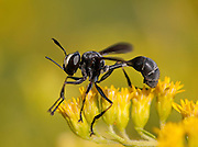 Thick-headed Fly; Pysocephala tibialis; on goldenrod; PA, Philadelphia; Morris Arboretum