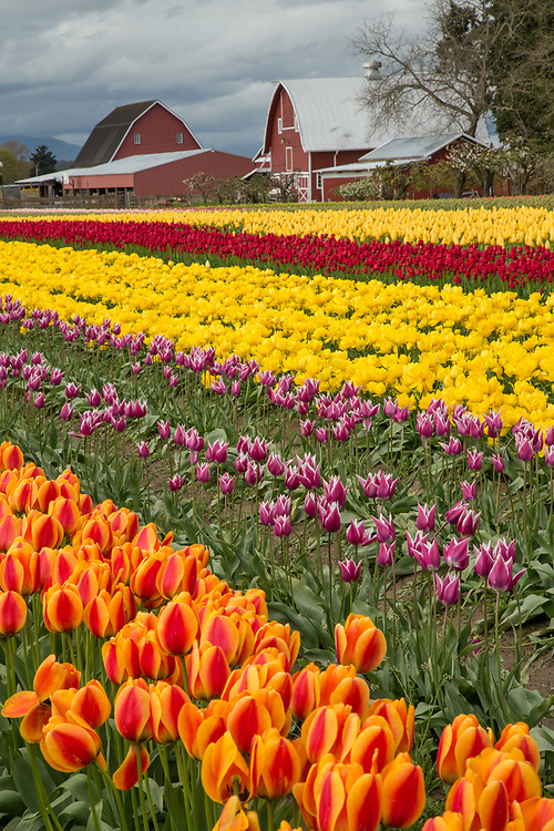 United States, Washington, Mount Vernon, tulip farm with rows of flowers and barns. PR