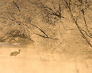 Japanese red-crowned crane (Grus japonensis). on icy pond at sunrise, Hokkaido Island, Japan.