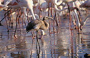 Greater Flamingo (Phoenicopterus ruber). Grown up chick drinking water among adults birds..Fuente de Piedra Lagoon, Malaga province, Andalucía - Spain.