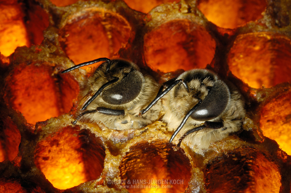 DEU, Deutschland: Biene, Honigbiene (Apis mellifera), zwei Drohnen (männliche Bienen) schlüpfen aus ihren Brutzellen, aus den  daneben liegenden leeren Zellen sind bereits Bienen geschlüpft, Bienenstation an der Bayerischen Julius-Maximilians-Universität Würzburg | DEU, Germany: Bee, Honey-bee (Apis mellifera), two drones (males) are hatching out of the brood cells, the other cells around are already empty and the hatched bees are gone, Beestation at the Bavarian Julius-Maximilians-University Würzburg