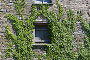Barn doors of ancient ivy-covered, Hedera helix, old stone farm building in Devon, Southern England, UK