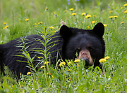 Black Bear (Ursus americanus) sow wanders through a summer meadow eating dandelion flowers, Arctic Valley.