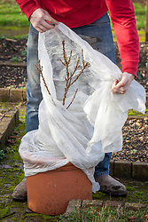 Protecting a container grown patio fruit tree with fleece
