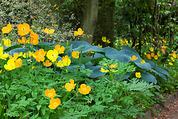 Welsh poppies - Meconopsis cambrica growing with hostas in a shady spot at Hidcote Manor Garden